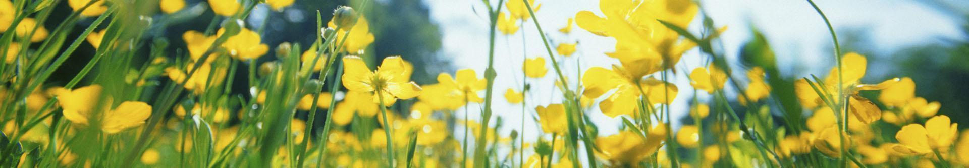 Żółte jaskry polne